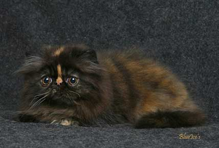 BlueIce's Almond Beauty, tortie pure persian